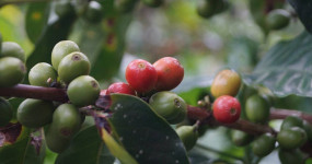 Výběrová káva je kvalitnější, lepší a mnohem chutnější