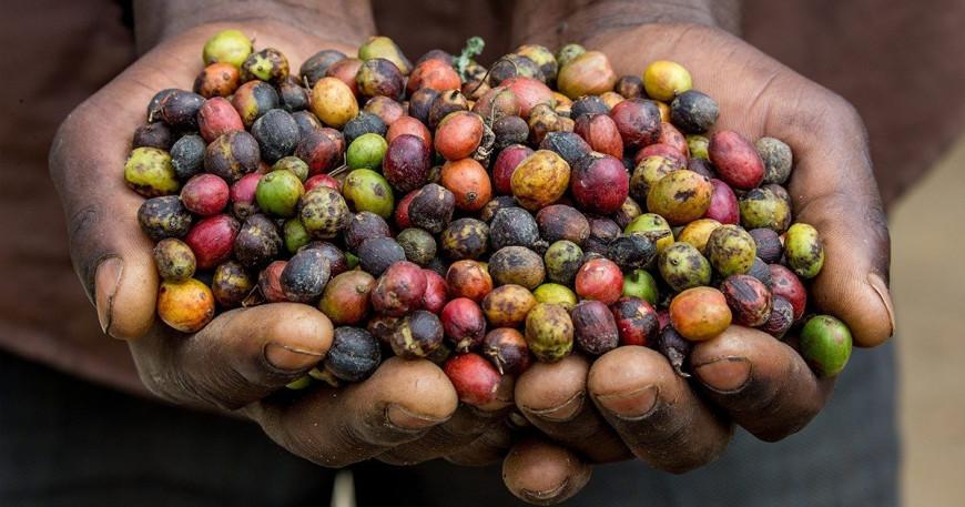 Fair trade káva přináší férové podmínky farmářům
